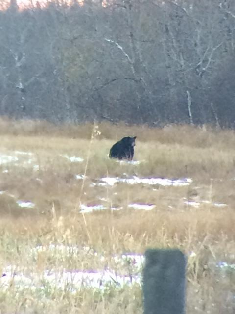 Bear spotted while geese hunting