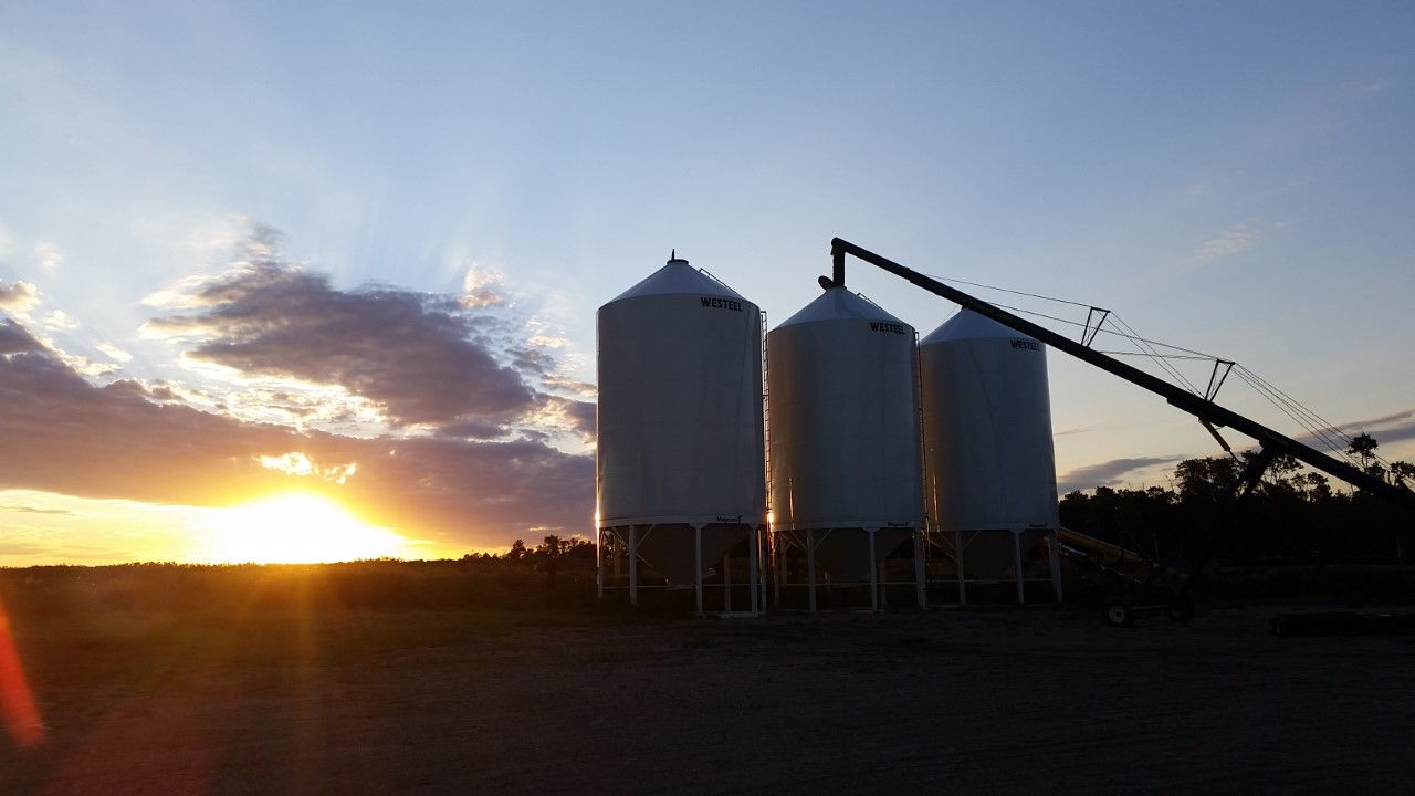 Unloading peas at sunset